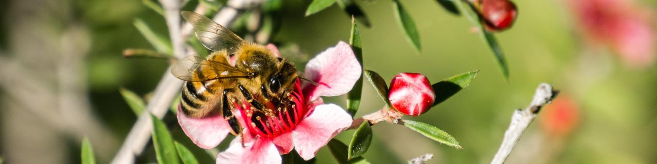 Manuka Honig: Biene auf einer Blüte der Südseemyrte