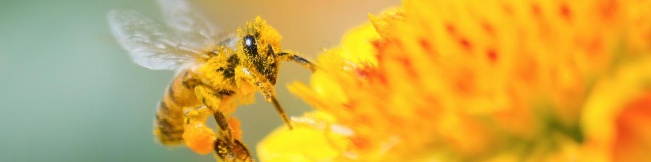 Mit Blütenpollen bedeckte Honigbiene