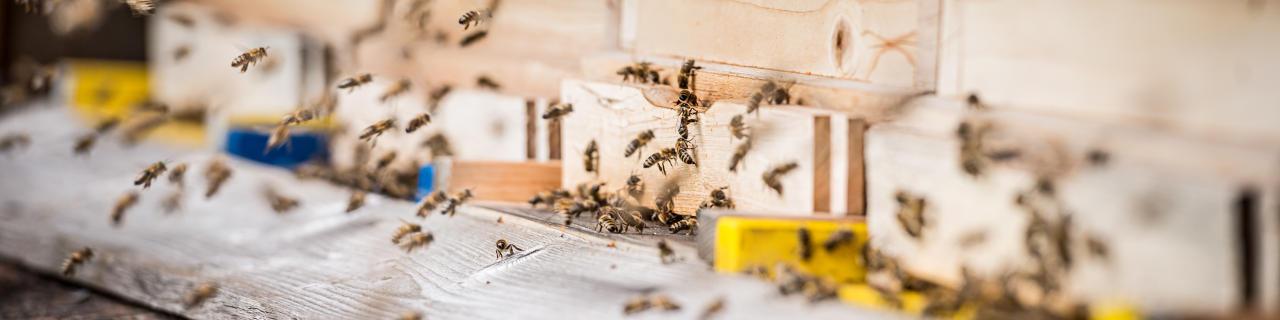 Heilende Wirkung aus dem Bienenstock