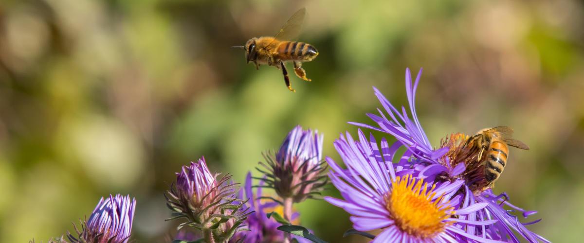 Honigbienen (Apis mellifera) über lila Astern