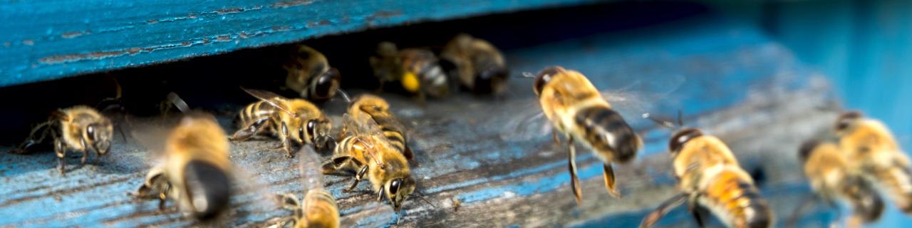 Honigbienenarten - Bienen am Bienenstock