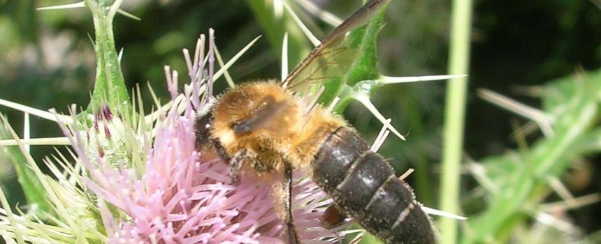 Kliffhonigbiene auf einer Distel