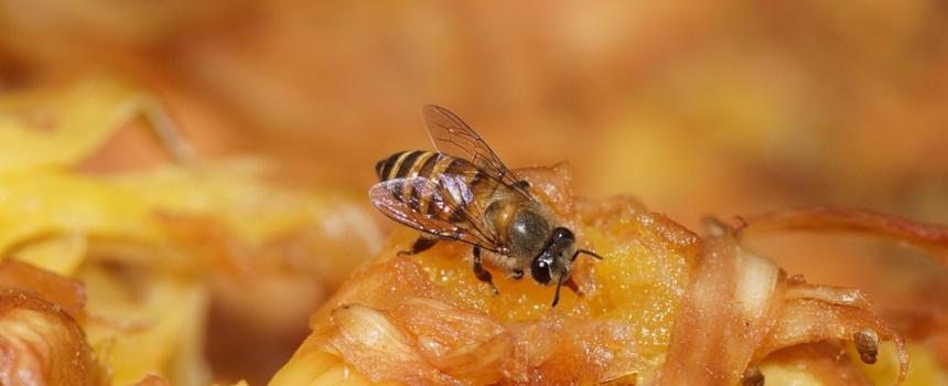 Bild der Östlichen Honigbiene
