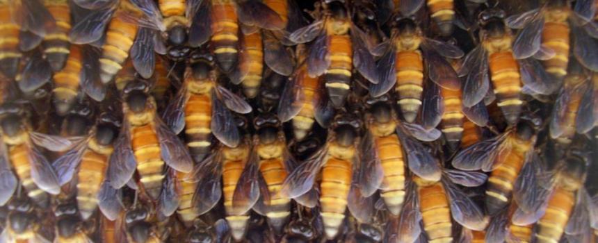 Bienenstock der Riesenhonigbiene