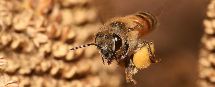 Westliche Honigbiene mit Pollen